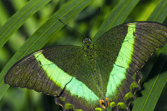 Emeralds. Close up of the Emerald Swallowtail Butterfly, illuminated by flash Royalty Free Stock Images