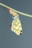 Emergência da borboleta Foto de Stock Royalty Free