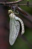 Emergência da mosca do dragão Fotografia de Stock