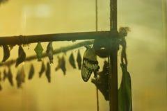 Emergência de uma borboleta de uma crisálida em um insectary Imagens de Stock Royalty Free