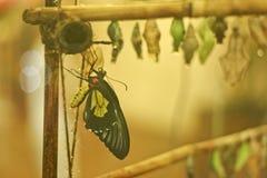 Emergência de uma borboleta de uma crisálida em um insectary Foto de Stock Royalty Free