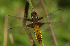 An emerged Broad bodied Chaser Dragonfly Libellula depressa. The nymph has climbed out of the water and the miraculous transformation is taking place from Stock Photo