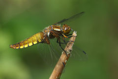 An emerged Broad bodied Chaser Dragonfly Libellula depressa. The nymph has climbed out of the water and the miraculous transformation is taking place from Royalty Free Stock Image