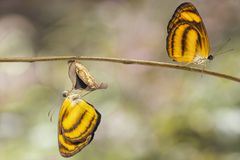 Emerged from chrysalis of common lascar butterfly Pantoporia h. Ordonia on twig with background stock photography