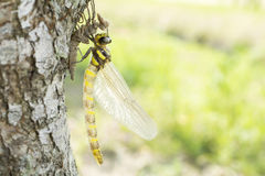 Emerged dragonfly Stock Photography
