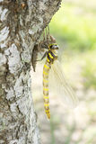 Emerged dragonfly in vertical Stock Image