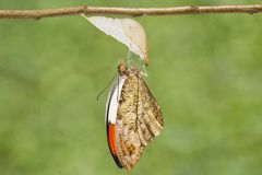 Emerged great orange tip butterfly  Anthocharis cardamines  ha. Emerged caterpillar , pupa to great orange tip butterfly  Anthocharis cardamines  hanging on twig Royalty Free Stock Photos