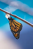 Emerged Monarch butterfly. Monarch butterfly danaus plexippus emerging from the chrysalis. Blue background with copy space stock images
