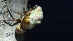 Emergence of Large Brown Cicada stock video footage