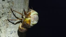 Emergence of Large Brown Cicada stock footage