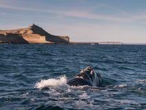 Emergencia de la ballena derecha Foto de archivo libre de regalías
