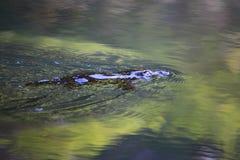 Emergencia de Platypus Fotos de archivo