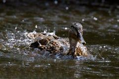 Emergencia femenina del pato silvestre Fotografía de archivo libre de regalías
