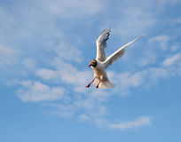Emergency braking in the air. Flying seagull in the sky Royalty Free Stock Image
