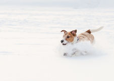 Emergency braking. Dog playing at snow field Royalty Free Stock Photography