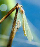Emergent damselfly Stock Photos