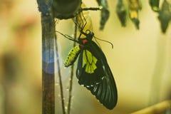 Emergenza di una farfalla da una crisalide in un insectary Fotografia Stock