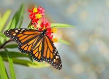 Emergió nuevamente la mariposa de monarca en las flores tropicales del milkweed imagen de archivo