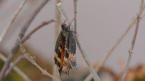Emergieron nuevamente los pequeños urticae de Aglais de la mariposa de concha almacen de metraje de vídeo