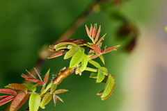 Emerging buds Royalty Free Stock Photos