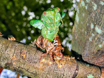 Emerging Cicada. Cicada Emerging after 13 Years Underground Stock Photography