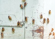 Free Emerging Cicadas Drying Out Their Wings Stock Images - 219488084
