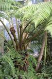 Emerging fern leaf Stock Photography