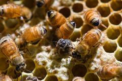 Emerging. Honey bees emerging from the honey comb Stock Image