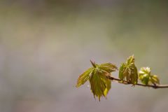 Emerging maple leaves Stock Photos