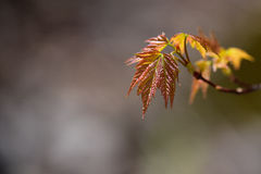 Emerging maple leaves Royalty Free Stock Images