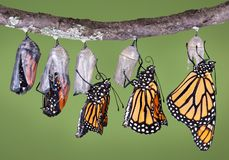 Emerging monarch Stock Image
