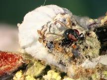 Emerging. Parasitic fly Cryptochaetum iceryae Diptera: Cryptochaetidae is a natural enemy of Cottony Cushion Scale, Icerya purchasi Hemiptera: Margarodidae stock photos