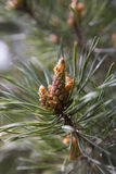 Emerging Pine Cone. Closeup of Pine Tree showing emerging pine cone growth Royalty Free Stock Photo