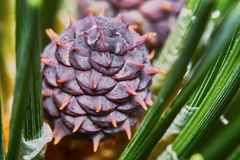 Emerging pine cone Royalty Free Stock Image