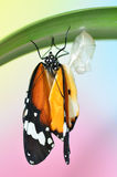 Emerging Plain Tiger Butterfly. Plain Tiger Butterfly emerging from chrysalis stock photo