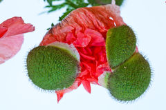 Emerging Red Poppy Stock Images