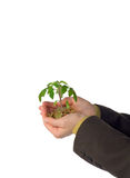 Emerging small business. Hands holding plant sprouting from a pile of golden coins - concept for emerging business, innovation and money (isolated Royalty Free Stock Photography