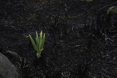 Emerging Star Lily Plant hypoxis rigidula In Burnt Field stock photos