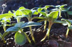 Emerging sunflower seedlings Royalty Free Stock Photo