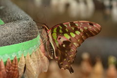 Emerging Tail Jay Butterfly. Royalty Free Stock Photos