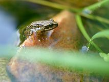 Emerging young frog Stock Photography