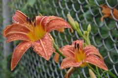 Emerocallide arancio (fulva di hemerocallis) con le gocce di pioggia sui petali Fotografie Stock