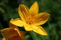 Emerocallide del fiore, hemerocallis Fotografia Stock Libera da Diritti
