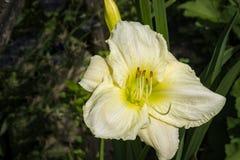 Emerocallide, fiore di hemerocallis Fotografia Stock Libera da Diritti