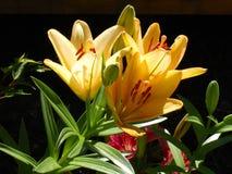 Emerocallidi gialli Fotografie Stock Libere da Diritti