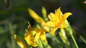 Emerocallidi gialli di fioritura Tempo soleggiato, fuoco selettivo stock footage