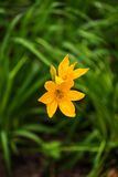 Emerocallidi gialli luminosi in un parco immagini stock libere da diritti