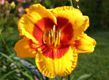 Emerocallis. Close-up of a Hemerocallis 'Fooled Me' daylily Stock Photography