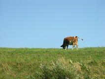 emeryturę krowy Fotografia Stock