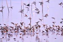Emigração do pássaro do bangpu Fotos de Stock Royalty Free